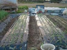 耕作放棄地を剣先スコップで畑に開拓!有機肥料を使い農薬無しで野菜を栽培する週2日の農作業記録 byウッチー-131112極早生たまねぎマッハ0909蒔き#3定植04