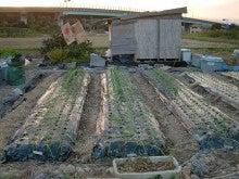 耕作放棄地を剣先スコップで畑に開拓!有機肥料を使い農薬無しで野菜を栽培する週2日の農作業記録 byウッチー-131112極早生たまねぎマッハ0909蒔き#3定植03