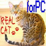 ベンガル猫専門ブリーダー リアルキャット