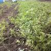 にんじん畑。の画像