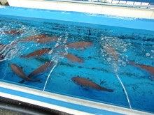 「旬魚たつみ」スタッフブログ-鯛