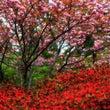 八重桜のように