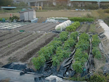 耕作放棄地を剣先スコップで畑に開拓!有機肥料を使い農薬無しで野菜を栽培する週2日の農作業記録 byウッチー-131119ウッチー式・今日の農作業の出来栄え05