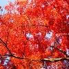 嵐山の紅葉、見頃ですの画像