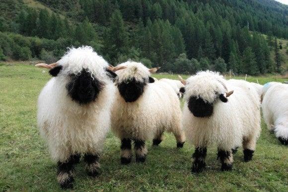 音史のブログ-Sheep1