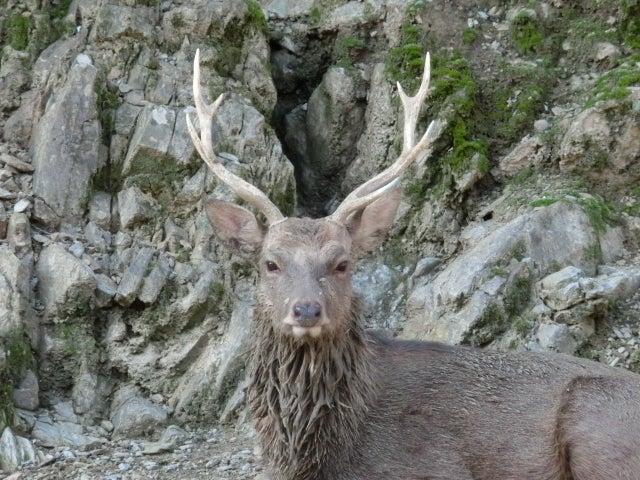 髭が生えているような鹿がかっこいい
