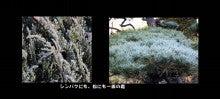 シンパクの葉に付いた霜