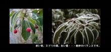 ソヨゴの葉と実に付いた霜