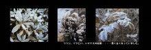 イワヒバに付いた霜