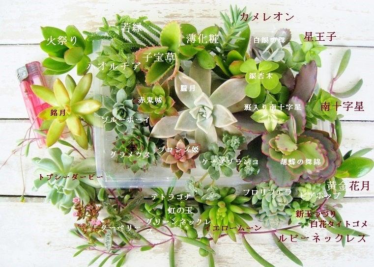 多肉植物 カット苗 盛り合わせ リース材料 寄せ植え材料など ...