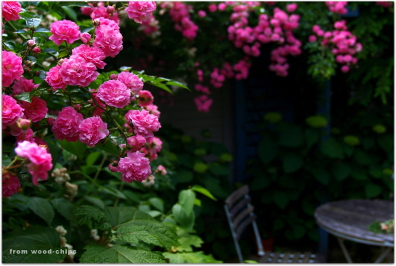 rose of garden ドロシーパーキンス誘引