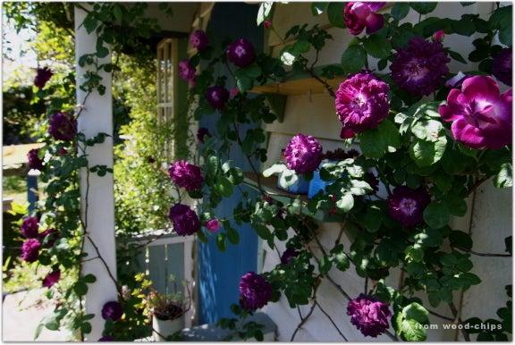 rose of garden カーディナルドリシリュー剪定