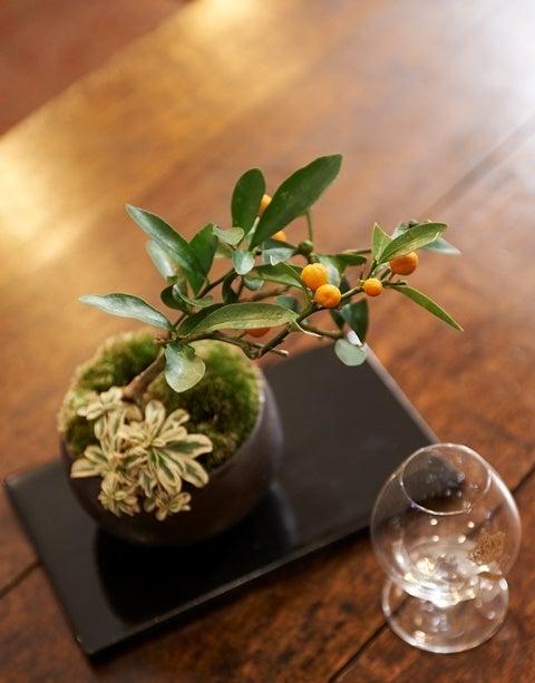 キンズ 金豆 琳葉盆栽