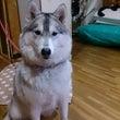 真ん丸ハスキー犬ww…