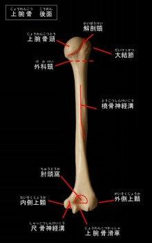 anatomy of humerus 上腕骨について(用語、名称 ...
