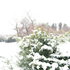雪の花の画像