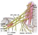 巻き肩、脱力で人生は好転する♪頚神経叢 腕神経叢の各脊髄レベルは? 必