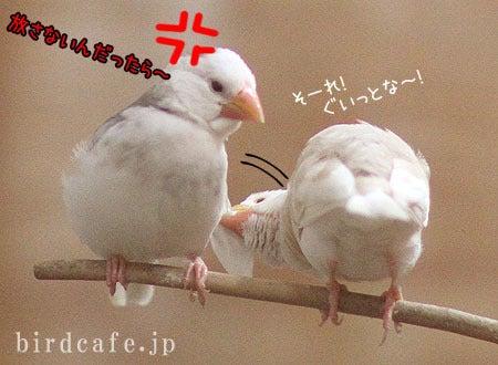 羽根を引っ張るクリーム文鳥ひなひな