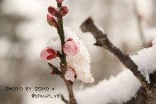 雪の日の梅