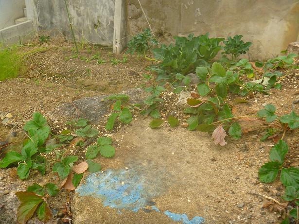 石垣イチゴの試み (2)