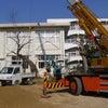 桜の移植の画像