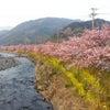 河津桜!!の画像