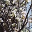 ~ 桜 ~