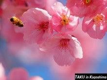 ミツバチ&桜