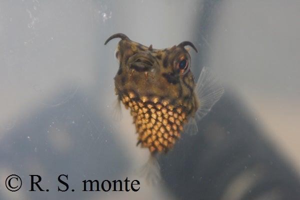 Web Burrfish 2