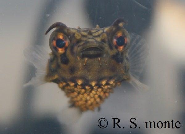 Web Burrfish 1