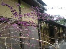 紫式部咲く