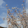 彼岸桜とクリスマスローズの画像