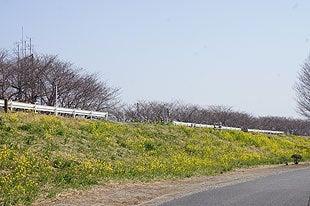 熊谷桜堤の菜の花