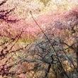 梅花の満開の頃 龍尾…