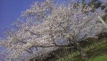 薩摩国分寺跡史跡公園 桜