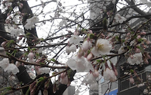 桜2014-02
