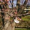 昨日の千本桜、あと少し!の画像