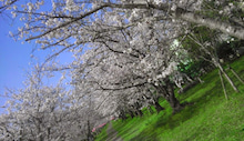 新田神社 参道 桜