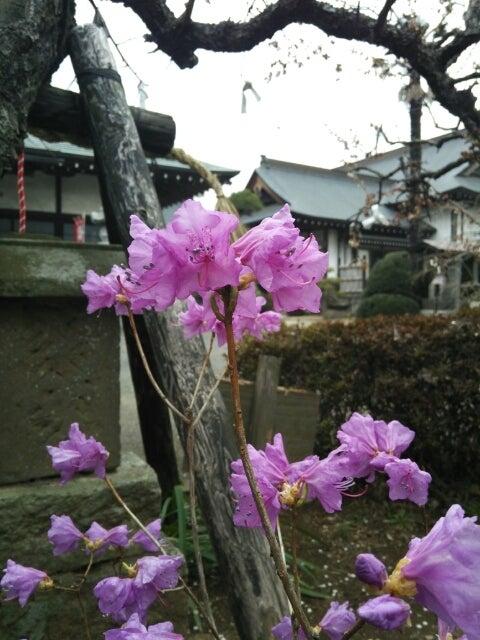 玄海ツツジ☆紫