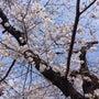 2014の桜 1