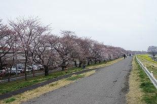 熊谷桜堤全景