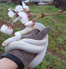 蛇と桜 2014/03/30 北越谷
