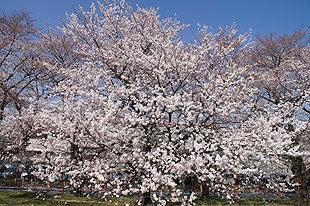 熊谷桜堤の桜のアップ
