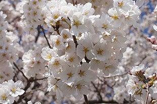 一部の木では8~9分咲きまで開花しております