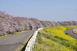 熊谷桜堤開花状況