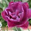 チューリップ咲くの画像