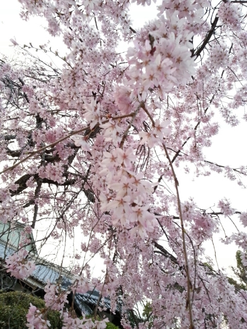 大人気~春の桜セール開催中です。