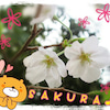桜、満開♪の画像