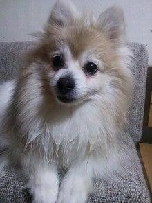 スピッツ ポメラニアン 日本スピッツの特徴と性格・飼い方・価格相場など|犬図鑑|いぬのきもちWEB MAGAZINE