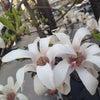 コブシの花が満開です!の画像